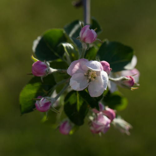 Apple Blossom Beauty In Nature Close-up Flower Flower Head Flowering Plant Focus On Foreground Fragility Freshness Growth Nature Petal Plant Vulnerability