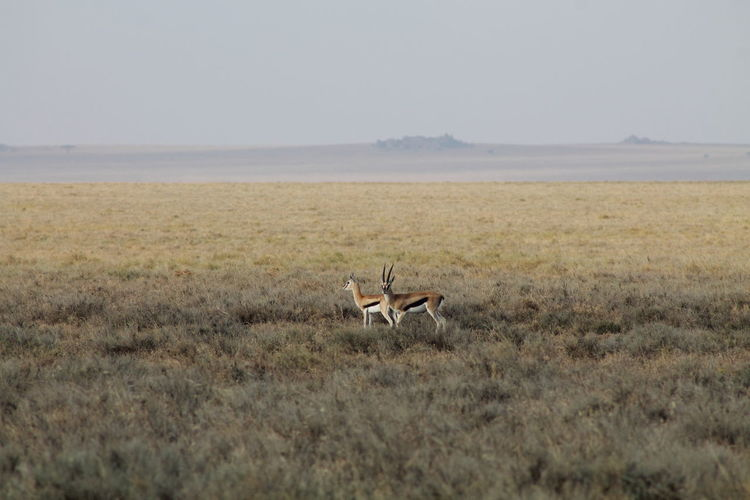 Two Thomson's Gazelles in Serengeti National Park Animals In The Wild Gazelle Serengeti National Park Animal Couple Antelope Antilope Eudorcas Thomsonii Safari Safari Animals Serengeti Thomson's Gazelle Two Animals