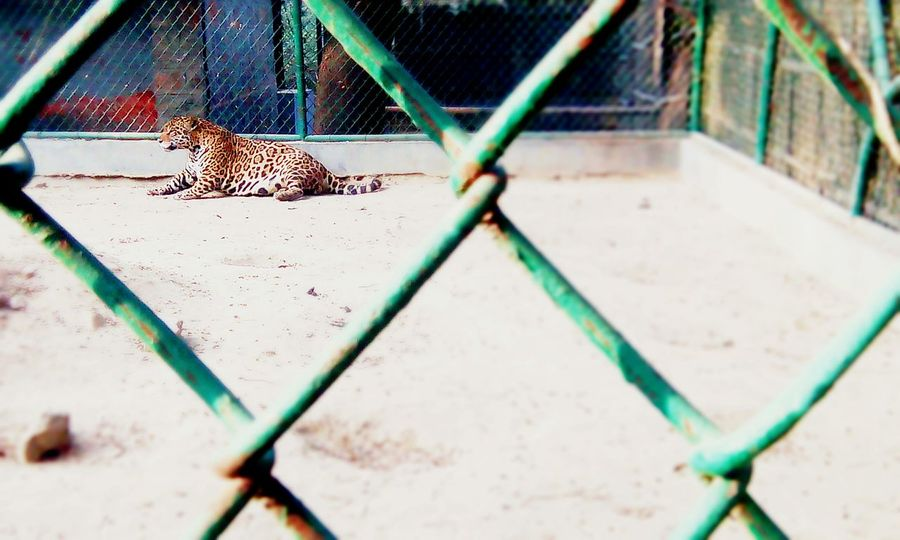 Caged :( Cheetah Zoo Animals  Viewfromoutside One Animal Animals In The Wild Nature