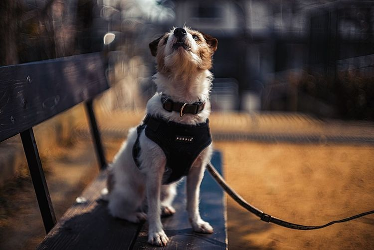 Bokeh Photography Bokeh depth of field Dof Looking Up Dog Photography Dog Portrait Port Jrt Kinoko Jackrussellterrier Jackrussell EyeEm Selects Dog Pets One Animal Animal Themes Domestic Animals Mammal Day Sitting No People Pet Clothing Outdoors