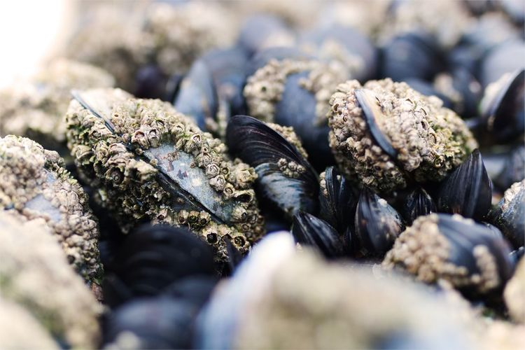 Close-Up Of Mussels With Barnacles At Beach