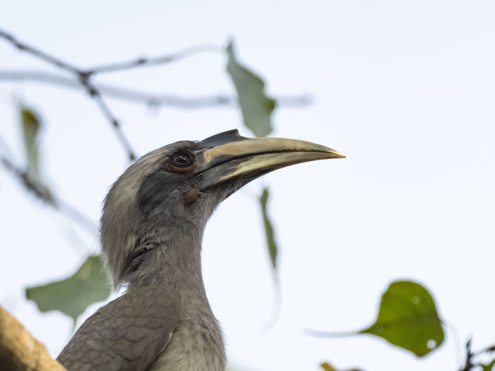 Indian Grey Hornbill (Ocyceros birostris) Animal Themes Animal Vertebrate Bird One Animal Animal Wildlife Animals In The Wild No People Close-up Focus On Foreground Beak Nature Day Perching Beauty In Nature Branch Low Angle View Outdoors Plant Animal Body Part Animal Head  Hornbill
