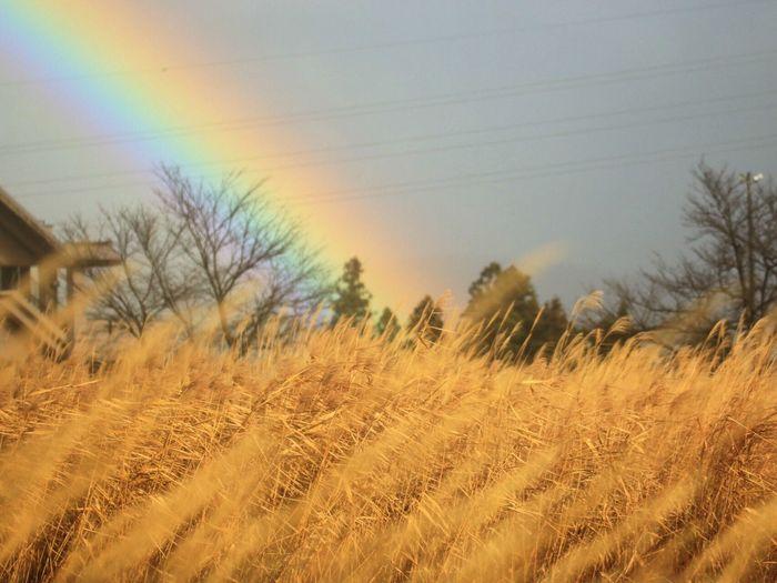 寒いったらありゃしない(゜∀゜) 風景 虹 EyeEm Nature Lover Botanical Canon70d Eyemphotography キミニミセタイソラ 枯れたすすきだらけ