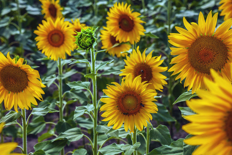 Yellow Flowering Plant Flower Plant Growth Vulnerability  Fragility Petal Flower Head Beauty In Nature Inflorescence Freshness Close-up Nature Day Pollen Focus On Foreground No People Sunflower Selective Focus Outdoors
