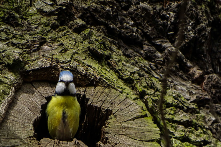 Low angle view of bluetit on tree