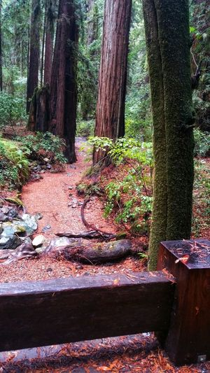Redwoods Dry Creek Bed Red Wet Moody Atmospheric Dramatic Zen Trail Wood Barrier Barrier Misty Weathered Reflected Light Rocks Gray Rural Tree Water Tree Trunk Forest Tranquility Tranquil Scene Countryside Stream Remote Calm Idyllic Scenics Growing