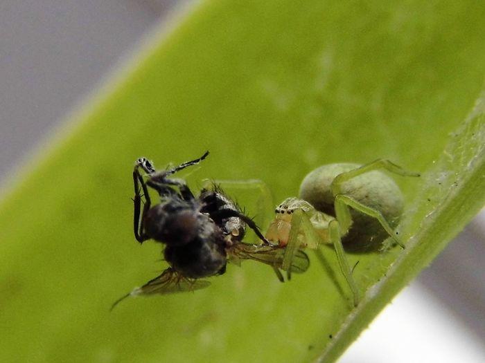 leider etwas unscharf, weil es so windig war...Spider Fly Spinne Spinnennetz Fliege Makro Macro Grün Spinne Grüne Spinne Lauerspinne Grüne Lauerspinne Green Nahrungsaufnahme Having Lunch Fressenundgefressenwerden Mahlzeit