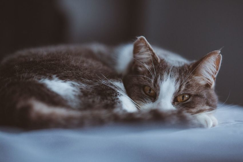 Experimenting with the Zeiss Otus 85mm, this lens is a beast. Feline Portrait Pets Selective Focus Relaxation Ziess Ziess85mm Ziessotus Canon Canonphotography 5D Mark Iii Canon 5d Mark Lll Cat First Eyeem Photo