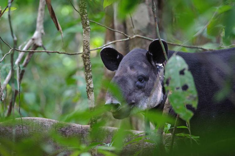 Baird's tapir (Tapirus bairdii) in Corcovado National Park Baird's Tapir Corcovado Costa Rica Tapirus Bairdii Animal Wildlife Animals In The Wild Corcovado National Park Mammal Nature One Animal Outdoors Rain Forest Rainforest Tapir Tree Wildlife