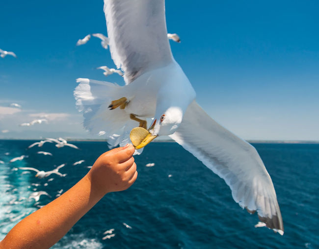 Hungry Seagull Human Hand Hand Sea Water Human Body Part Real People Animal Eating One Person Feeding  Vertebrate Holding Flying Animal Themes Leisure Activity Outdoors Horizon Over Water Vacations Holydays Seagull Seagulls And Sea Seagulls In Flight Hungry