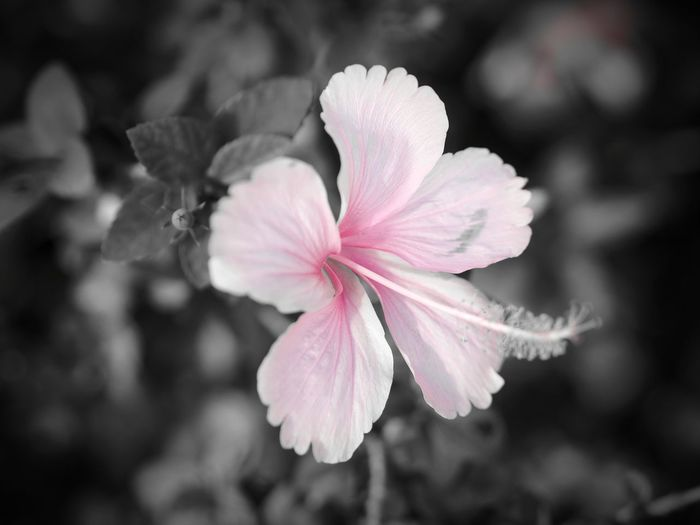 Flower Head Pink Color Close-up Beauty In Nature Flower Nature Plant Blossom Growth Outdoors Freshness Fragility