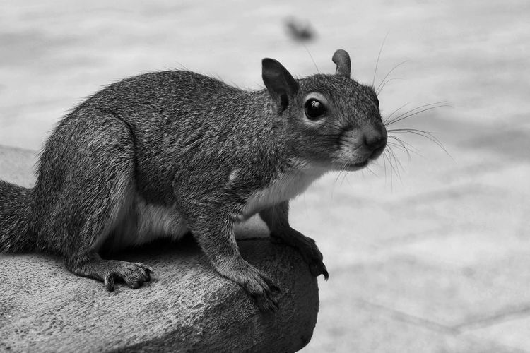 Cute squirrel Animal Animal Themes B/w Blackandwhite Close-up Cute Nature No People One Animal Outdoors Squirrel EyeEmNewHere
