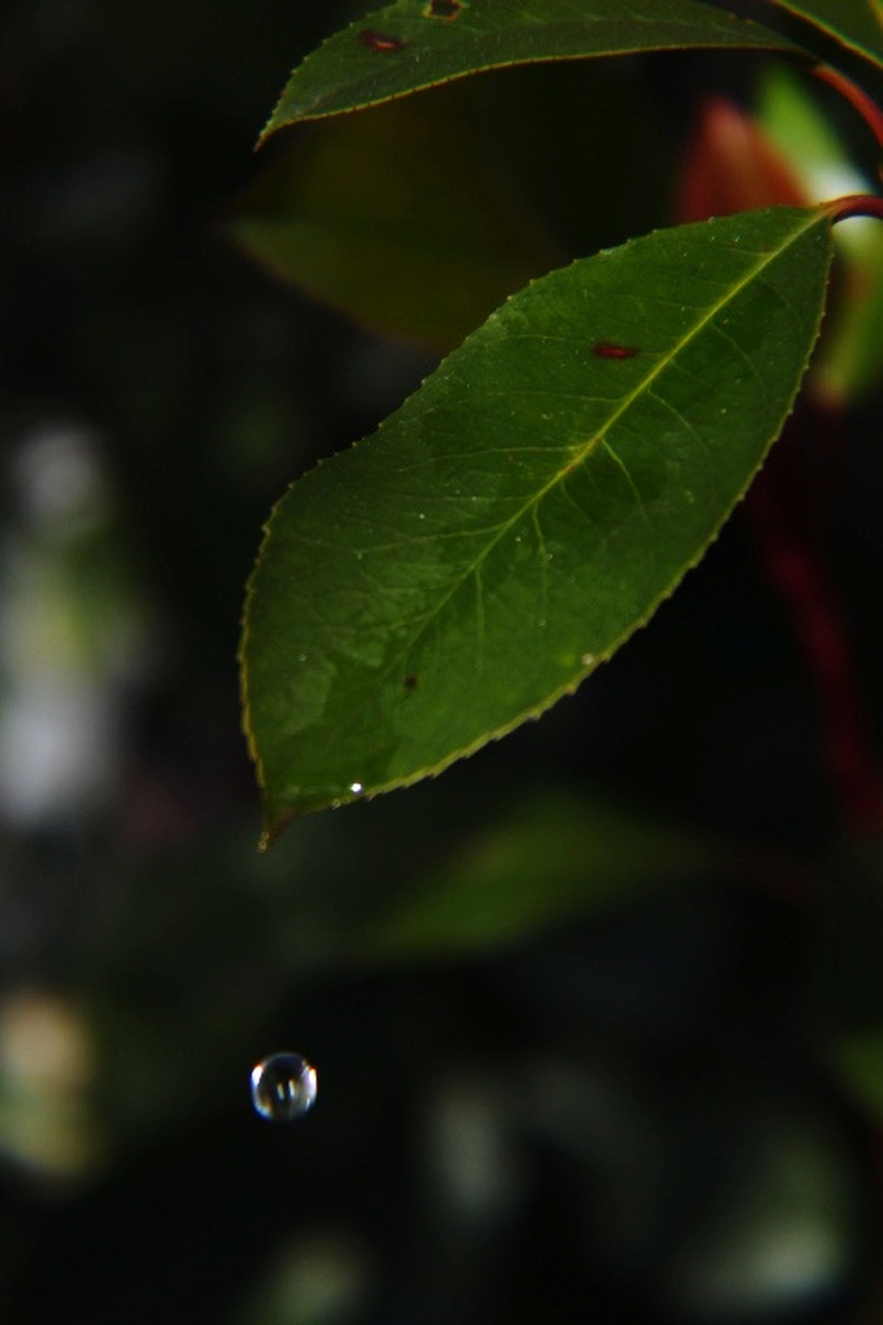 leaf, plant part, drop, plant, water, green color, close-up, nature, focus on foreground, growth, wet, no people, outdoors, day, selective focus, beauty in nature, freshness, vulnerability, purity, dew, raindrop, leaves