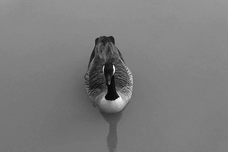 High angle view of canada goose swimming at lake