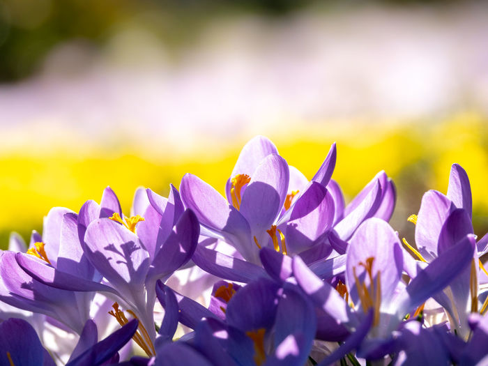 Flower Flowering Plant Beauty In Nature Vulnerability  Freshness Petal Close-up Plant Fragility Growth Purple No People Flower Head Selective Focus Nature Inflorescence Sunlight Outdoors Day Focus On Foreground Crocus