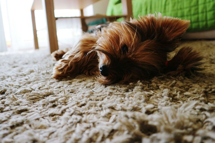 Close-Up Of Dog Relaxing On Rug At Home