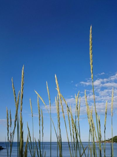 Growth Nature Blue Plant Outdoors Day Cereal Plant Cattail Clear Sky Beauty In Nature Sky No People Tranquility Scenics Rural Scene Close-up Beauty In Nature Clouds Sea Water Cloud_collection  Vivid Cloud - Sky Sea_collection Sea And Sky