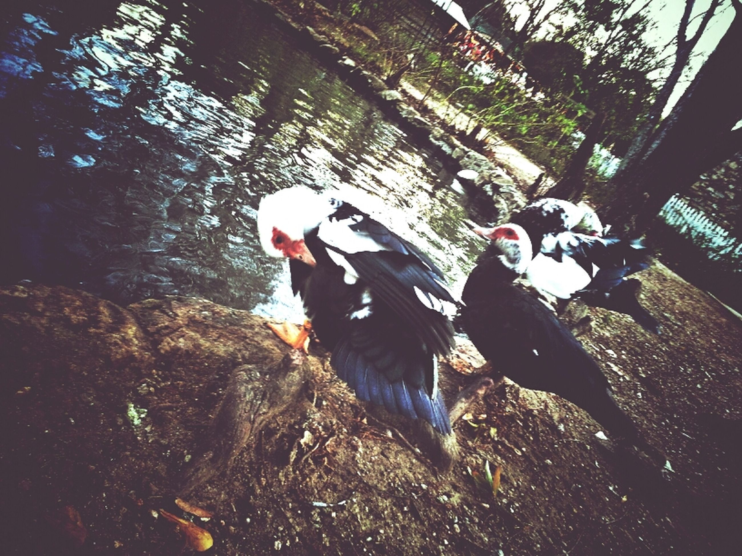 animal themes, animals in the wild, bird, wildlife, water, swimming, one animal, high angle view, nature, two animals, fish, outdoors, duck, sunlight, day, no people, beauty in nature, zoology, spread wings, reflection