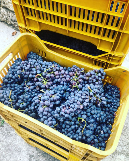 Fresh merlot grapes in yellow box Agriculture Basket Container Food Food And Drink Freshness Fruit Grape Grapes Harvest Harvesting Healthy Healthy Eating High Angle View Large Group Of Objects Mediterranean  Merlot Organic Outdoors Ripe Stack Vineyard