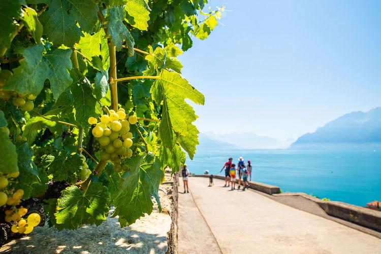 Vineyards on lake geneva, excursions and itineraries among the vineyards, panorama on lake geneva.