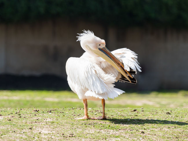 White pelican stands on the ground on a sunny day and cleans feathers Ape Business Grass Ramat Gan - Tel Aviv Travel View Zoo Adaptation Animal Themes Animals In The Wild Attraction Biology Conservation Day Environment Israel Landscape Mammal Nature Population Predator Reserve Safari Scene Tourism