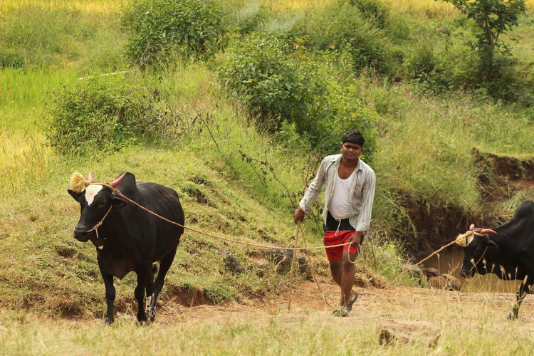 Man with cow walking on field