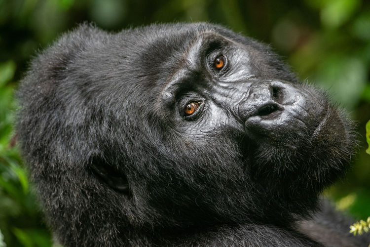 Close-up portrait of gorilla in forest