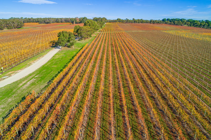 High Up Horizon In A Row Landscape Meadow No People Panoramic Red Hill Rural Scene Sky Sunlight Travel Locations Tuerong Vineyard Yabby Lake Aerial Agriculture Australia Autumn Background Beautiful Beauty Country Drone  Fall Field Grapes Grass Green Growing Melbourne Mornington Nature Outdoors Panorama Peninsula Scenic Shīrāz Tourism Travel Travel Destinations Tree Victoria View Vines Viticulture Wine Winery