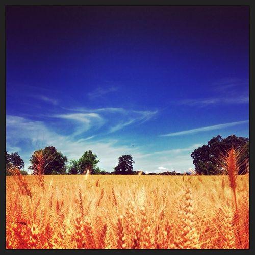 Wheat Americana Wheat Field Peoria Road