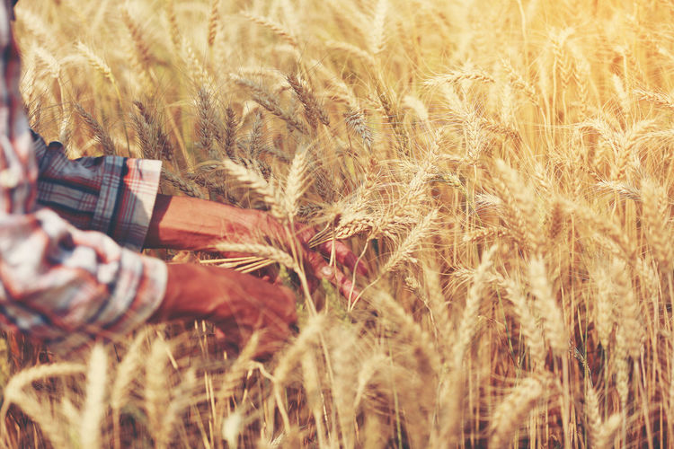 Cropped hands of man working on wheat field