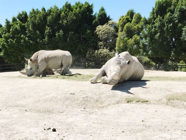 They are really white Zoo Rino