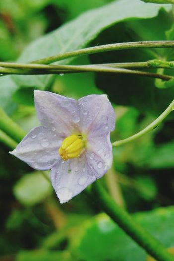 Flowers Flower Collection ดอกมะเขือ