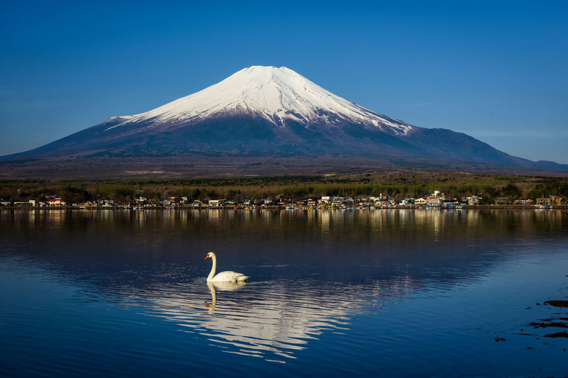 White Swan swimming on Yamanaka lake with Mount Fuji or Fujisan in morning, Yamanashi, Japan Water Vertebrate Mountain Animal Animal Wildlife Animal Themes Lake Beauty In Nature Bird Animals In The Wild Scenics - Nature Waterfront Day Reflection Nature Blue One Animal Sky No People Outdoors Snowcapped Mountain Swan Fujisan EyeEm Best Shots EyeEm Nature Lover