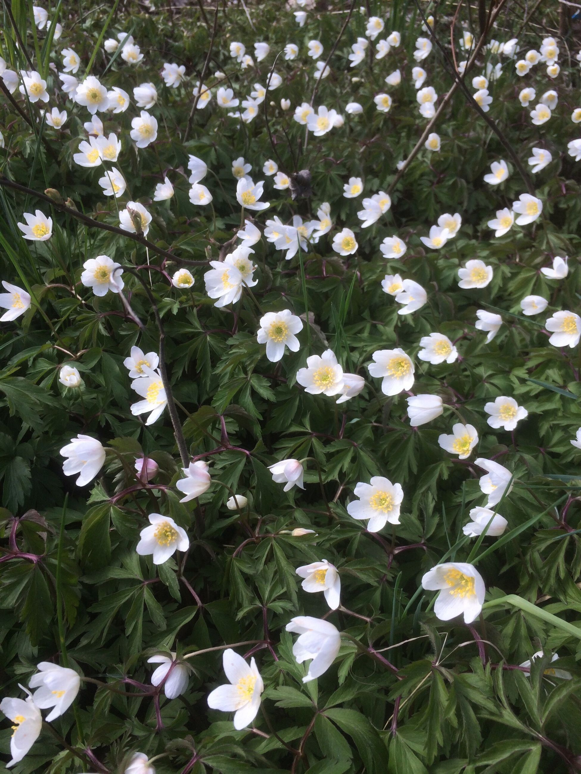 flower, nature, growth, beauty in nature, white color, fragility, plant, freshness, no people, petal, springtime, day, outdoors