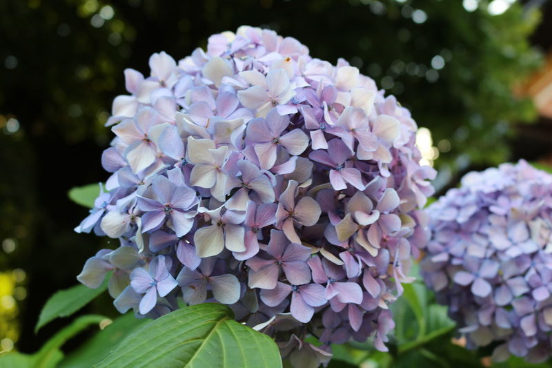 Beauty In Nature Blooming Close-up Day Duck Flower Focus On Foreground Fragility Freshness Fun Growth Hydrangea Italien Italy Lagomaggiore Lilac Nature No People Outdoors Petal Photography Plant Purple Selfmade Sunset