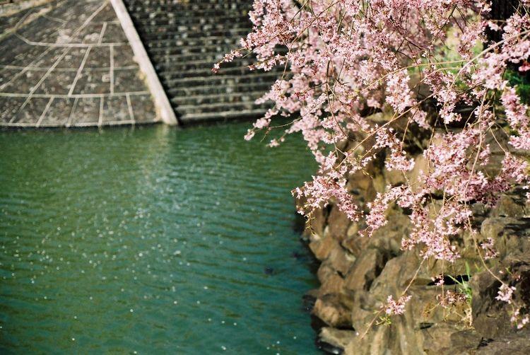 茶屋沼の枝垂桜。 茶屋沼 枝垂桜 Chaya Swamp Sakura Cherry Blossoms Canon Ftb Film Photography