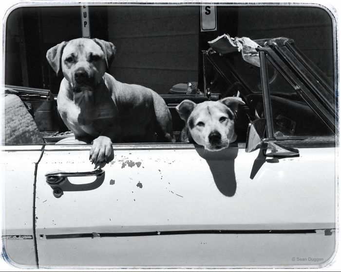 Two Dogs in a Convertible