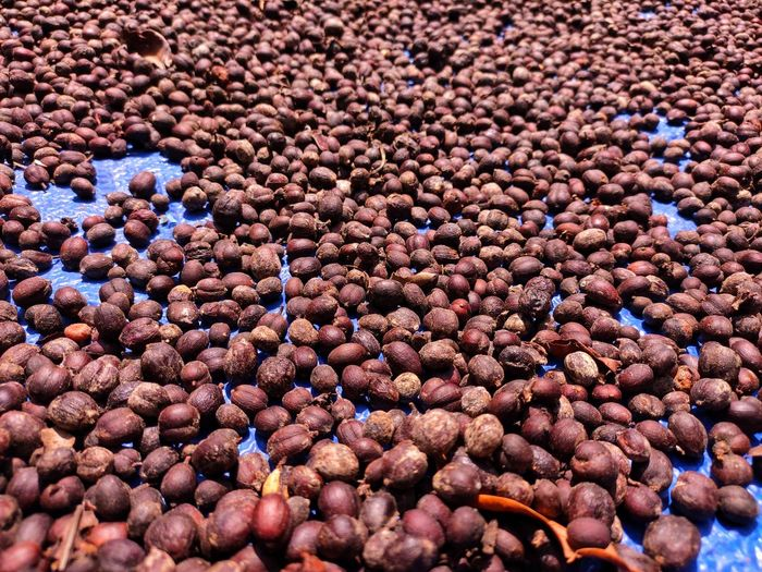 Coffee beans that are drying in the sun