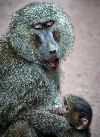 Olive Baboon, Mother and Baby Lake Manyara, Tanzania Lake Manyara Tanzania Safari Olive Baboon Animal Animal Themes Animal Wildlife Animals In The Wild Mammal Monkey Two Animals Young Animal Animal Family Animal Head