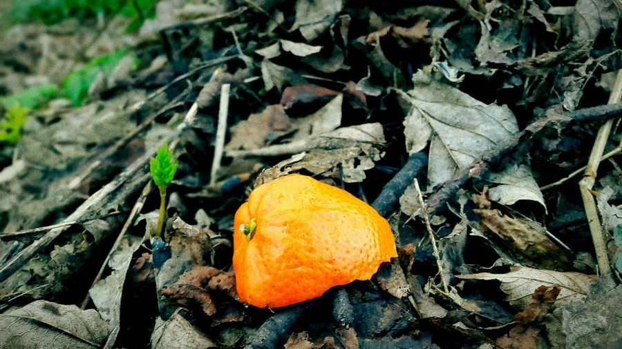 Saw an orange peel when i was walking my dog today. Degredation Dégradé Spring Earth Orange Biology Environment Colours Ecosystem  Biodegrade Color Bold And Beautiful Unusual Simple Recycle Organic Hope Future Scotland EyeEm Best Shots Nature Smartphone Walking The Dog Enjoying Life Winter Day