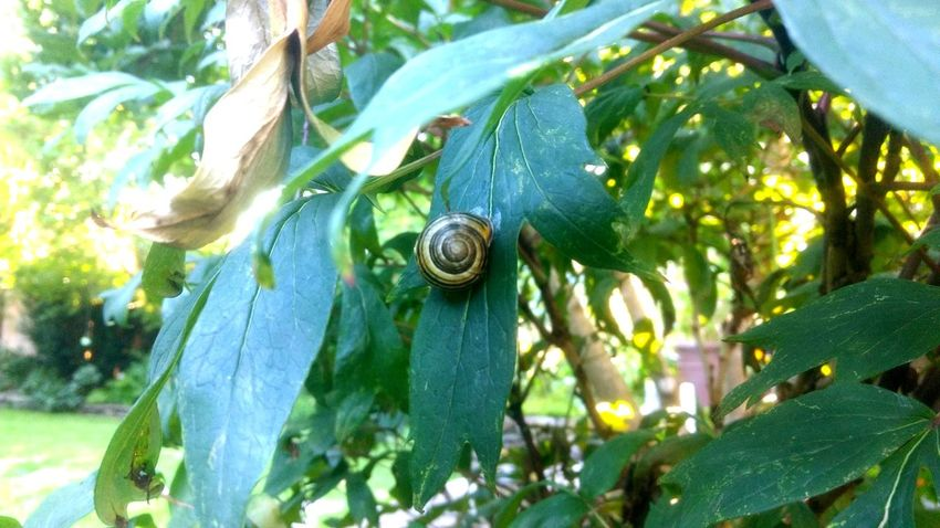 Nature Natural Beauty Natures Beauty EyeEm Best Shots EyeEm Selects Tree Leaf Animal Themes Close-up Green Color Plant Snail Shell Antenna Slow Crawling Slimy