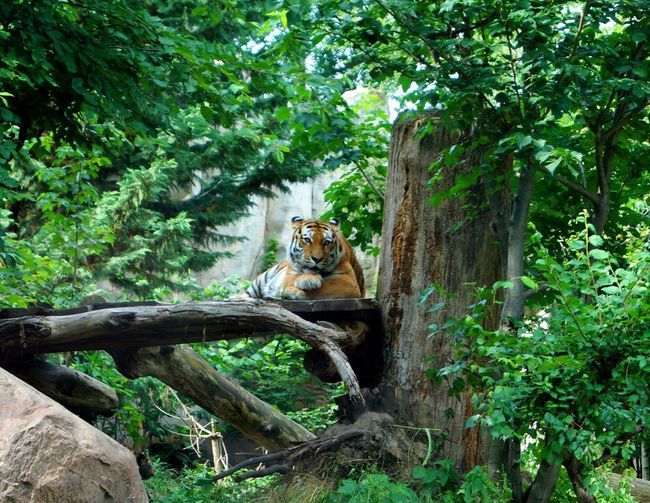Animals In The Wild Animal Themes Mammal Tree Nature Lion - Feline Lioness Day One Animal Outdoors Relaxation Feline Animal Wildlife No People Plant Safari Animals Endangered Species Tiger Leopard