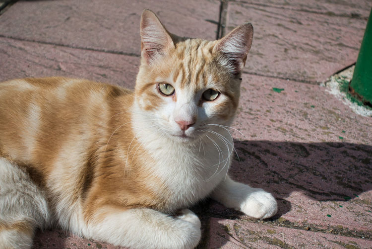 Animal Themes Mammal Animal Pets Domestic Domestic Animals Cat Feline One Animal Domestic Cat Vertebrate Portrait Looking At Camera Relaxation No People Whisker Day Close-up Looking Footpath Ginger Cat Beauty Green Eyes