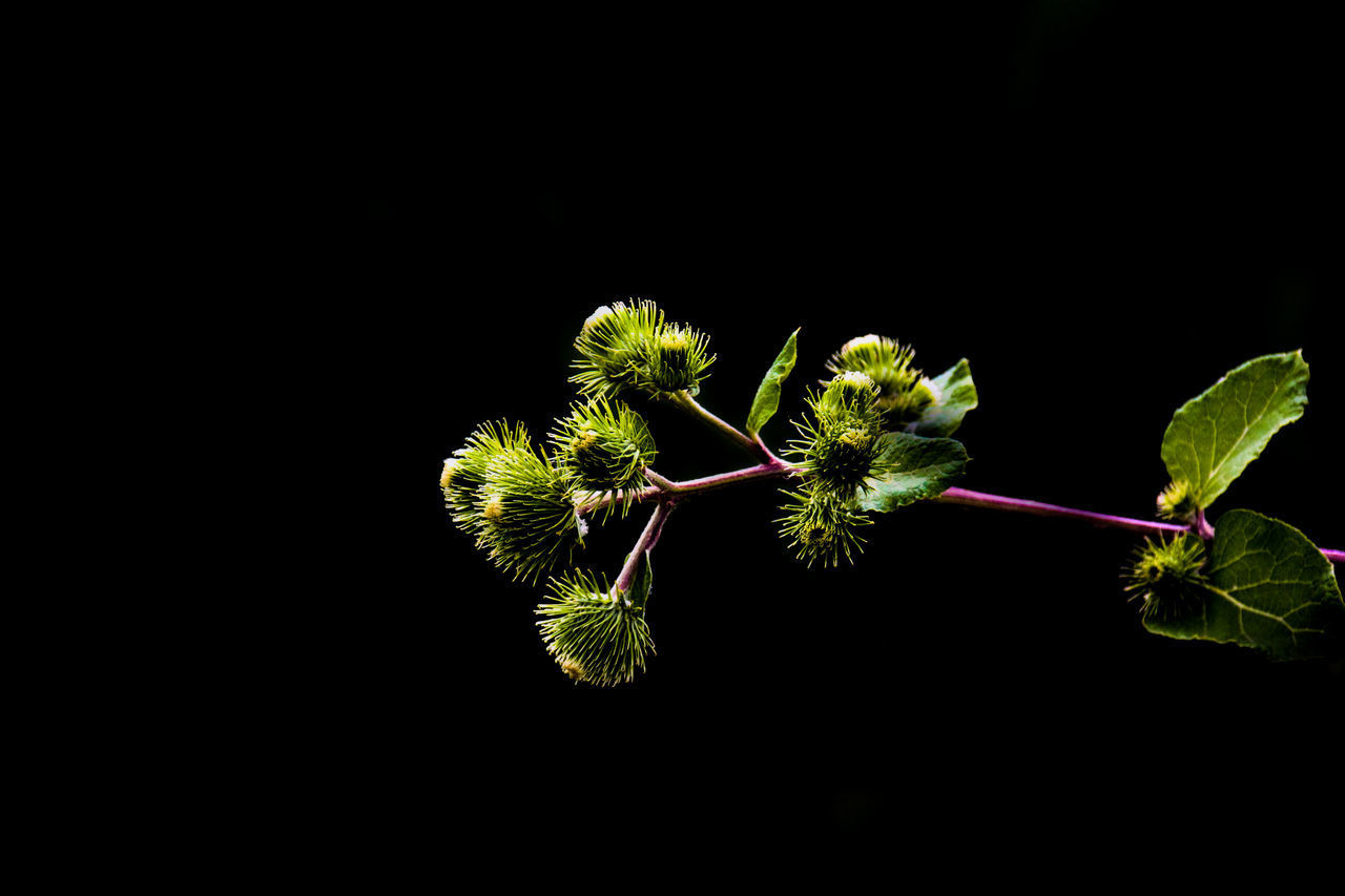 CLOSE-UP OF PLANT WITH BLACK BACKGROUND