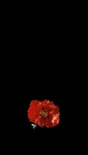 Red Bee Black Background Flower Flowering Plant Inflorescence Vulnerability