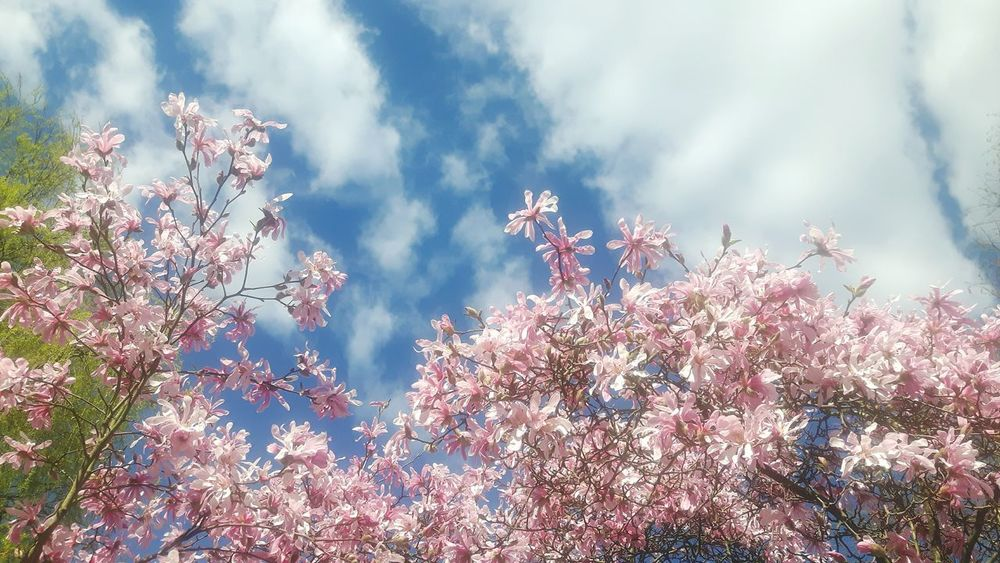 Tree Nature Beauty In Nature Plant Sunlight Outdoors Growth No People Low Angle View Springtime Forest Scenics Treetop Almond Tree Sun Magnolia Loebneri Magnolia Tree Freshness Magnolias Blooming Magnolienknospe Close-up Flower Garland NatureDay Sky