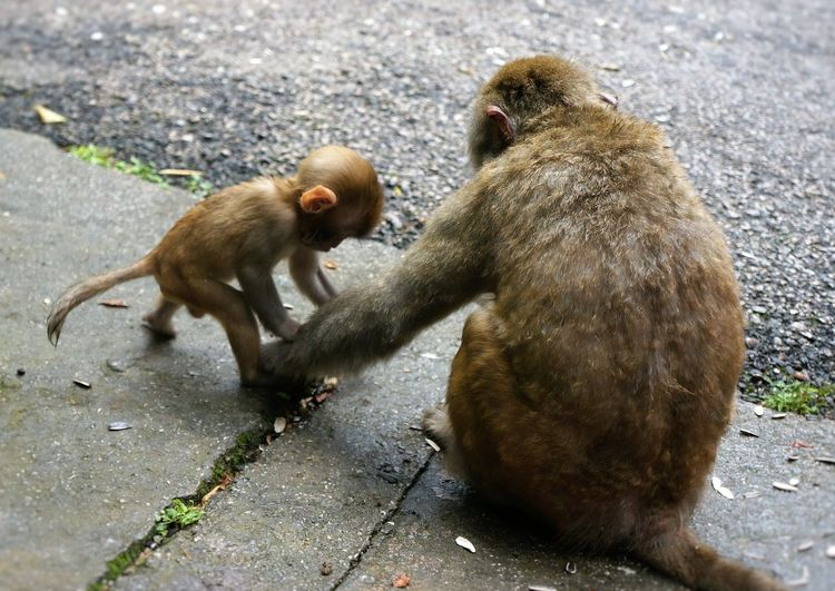 Animal Themes Animals Caring Child Day Domestic Animals Family Footpath Grabbing Hands Mammal Monkey Monkey Family Mother Mother And Child No People Paving Stone Pulling Toddlers  Tug Two Animals Wildlife Zoology