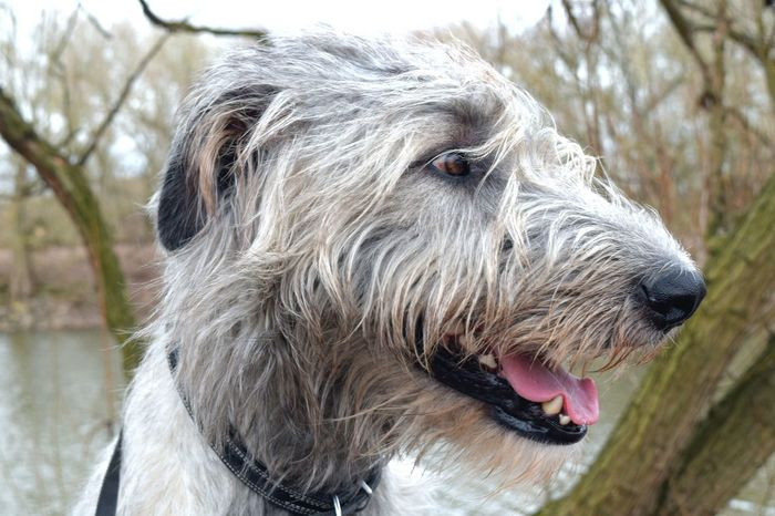 One Animal Animal Themes Pets Close-up Dog Nature Outdoors Dogs Of Spring Portrait Dogwalk Dog Of The Day Cearnaigh Dogs Of EyeEm Spring 2017 Irish Wolfhound Dogslife Domestic Animals How's The Weather Today? March 2017 Bokeh Water_collection