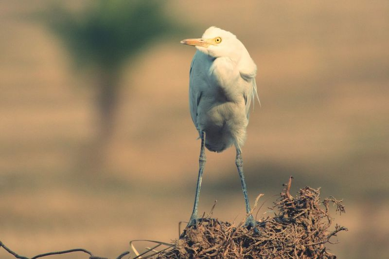 Egret On Dried Plant