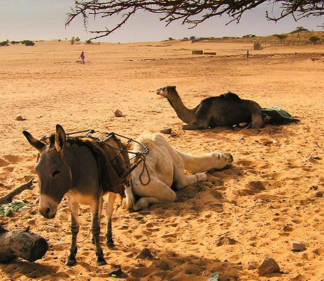 Acacia Animal Themes Camels Day Desert Domestic Animals Donkey Livestock Mammal Nature No People Outdoors Sahara Sand Sky
